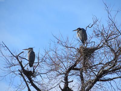 great blue heron bird rookery