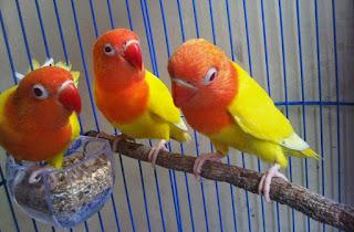 Ternak-Lovebird-Lutino