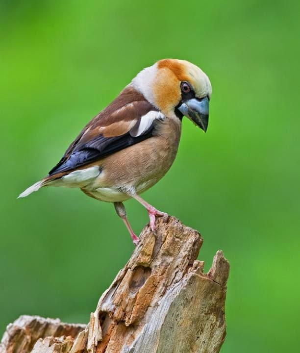 Hawfinch birds