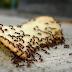 Alasan Semut Suka Yg Manis? Ini Jawabannya