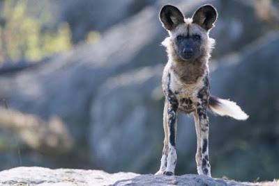 Anjing African Liar