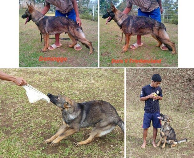 Jual Anjing Berbagai Daerah Jual Anjing Herder Working Line