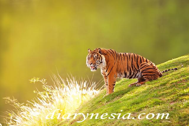 Sumatran tiger panthera tigris sondaica, Sumatran tiger native animal from Sumatra, native animal from indonesia, diarynesia
