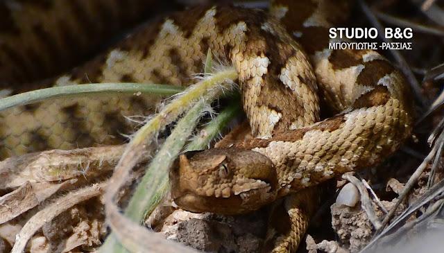 Η φωτογραφία της ημέρας: Οχιά - Το πιο επικίνδυνο φίδι στην Ελλάδα