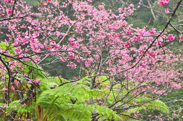 ferns, mountain, flowers, sakura, cherry trees