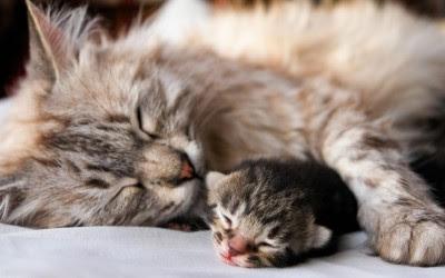 Cara Membantu Kucing Melahirkan