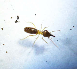 A Bulbitermes termite soldier