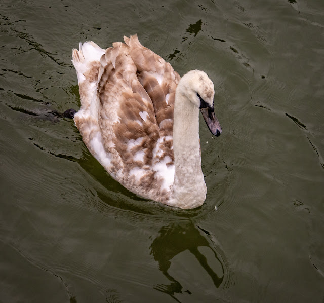 Photo of the lone cygnet visiting Ravensdale yesterday (Thursday)