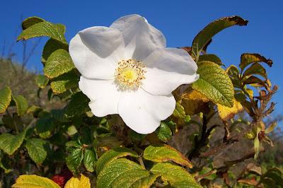 Apfelrose Rosa rugosa /'Alba/' 60 cm en 3 L Pot