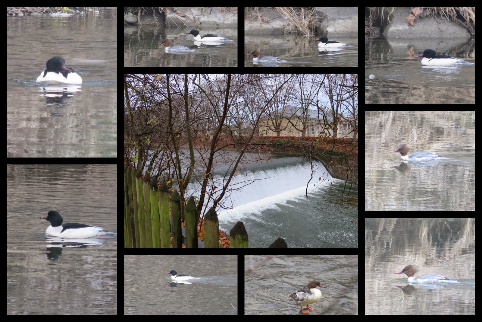 Goosanders - ducks - on the Sihl River in Zurich
