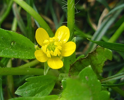 Abrepuños (Ranunculus muricatus) flor silvestre amarilla