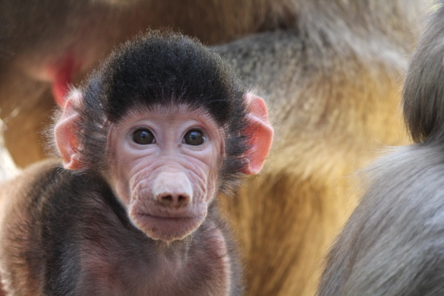Baby Animals: Baboon infant 2