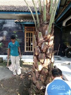 jual pohon palem kurma dibandung harga murah , tanaman berkualitas , dan ongkos kirim gratiss