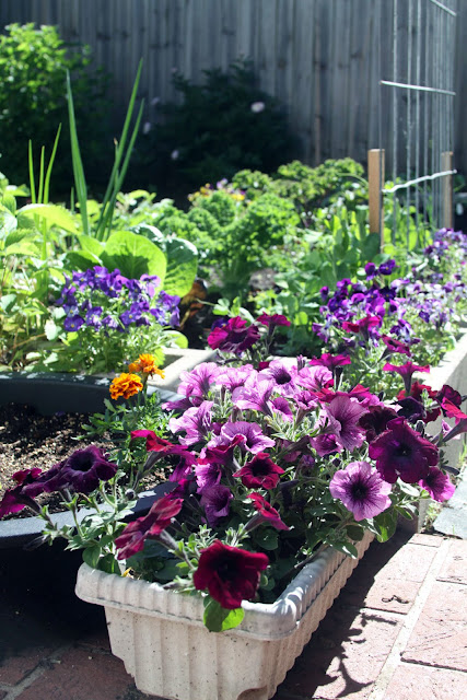 garden, container gardening, cinder block raised beds, petunias, violas, vegetable garden, Anne Butera, My Giant Strawberry