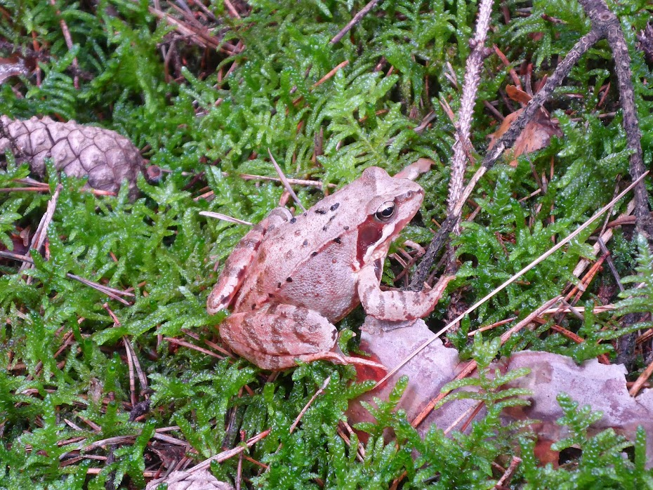 Лягушка, коричневая