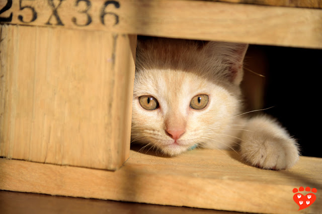 A kitten peeks out of a wooden box