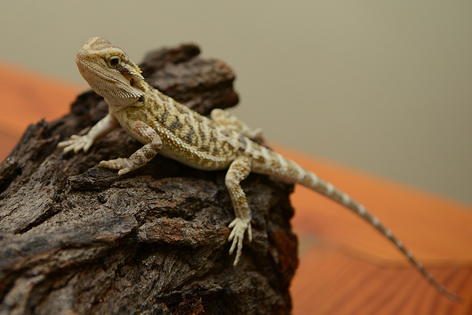 Quotes About Bearded Dragons Quotesgram