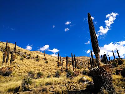 Puya Raimondi, Pastoruri, Huaraz, Tours Huaraz, Huaraz Trekking