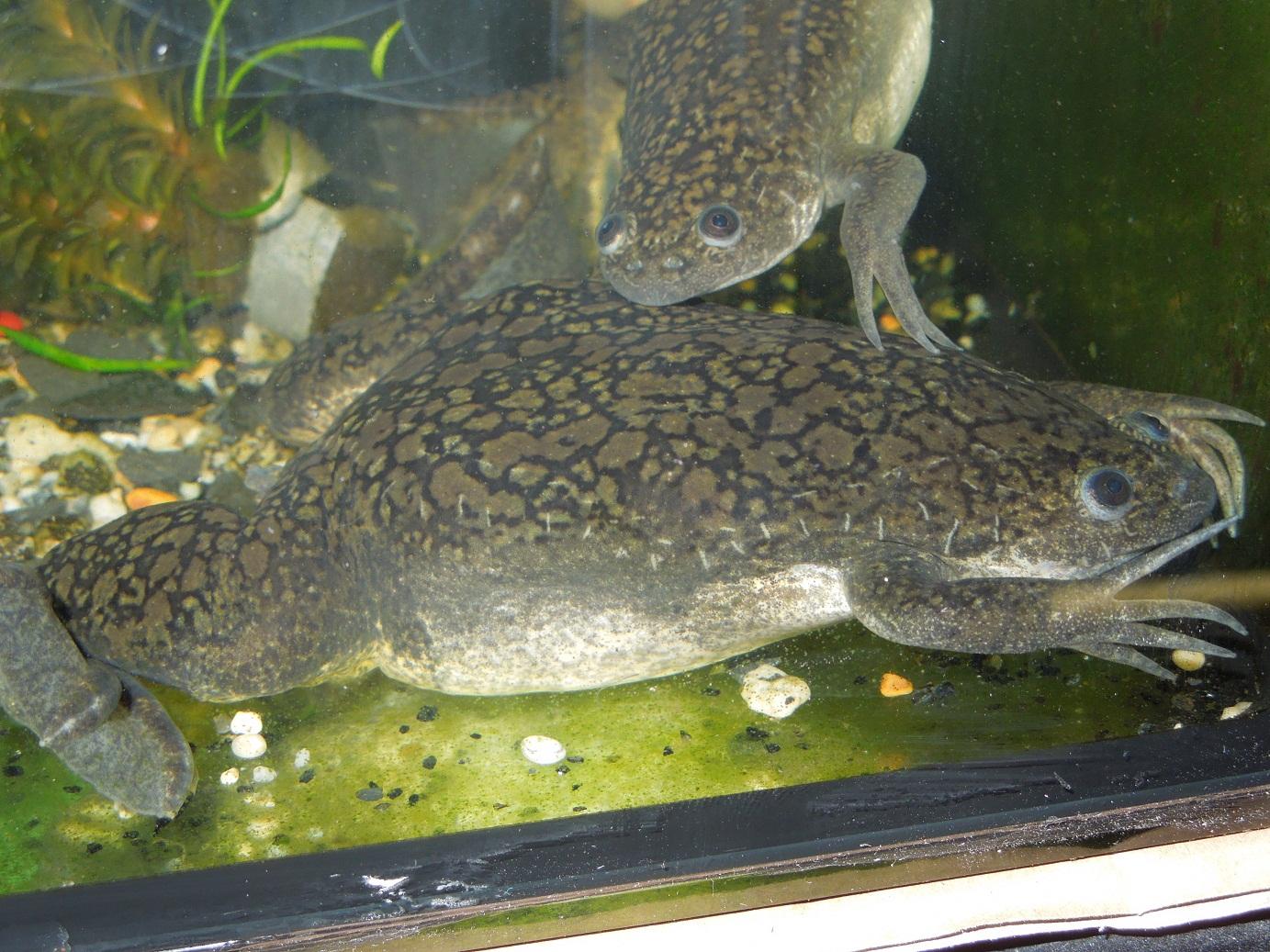 Reptiles Amphibians Amp Fish Marbled Xenopus