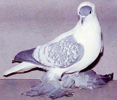 صور اجمل طيور الحمام في الامارات
