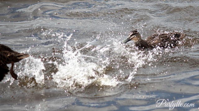 black duck kicking water into the face of her rival