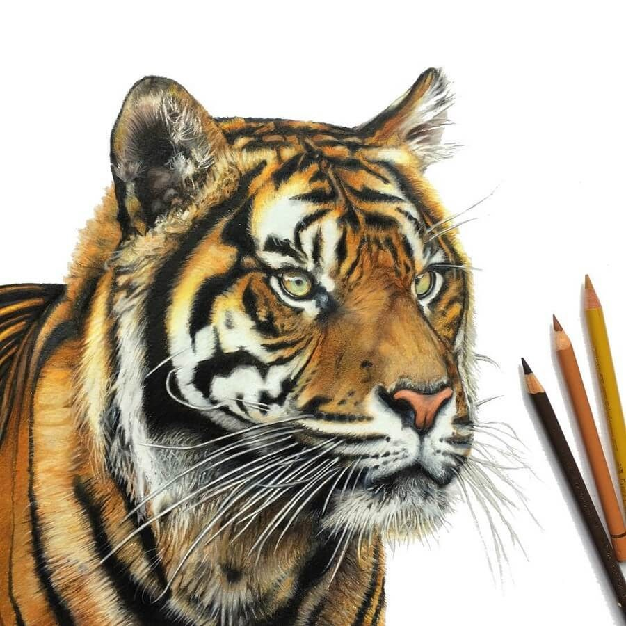 13-Tiger-Tom-Strutton-Animal-Drawings-www-designstack-co