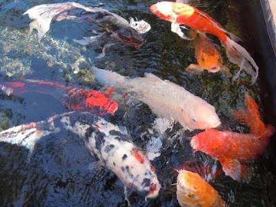 Penyakit Ikan Koi dan Antisipasinya
