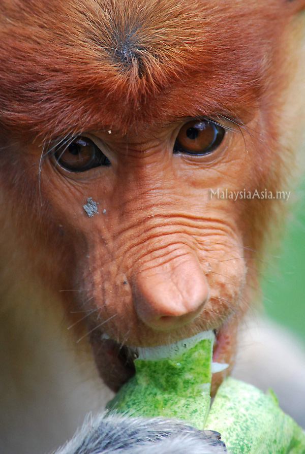 Photo of Proboscis Monkey