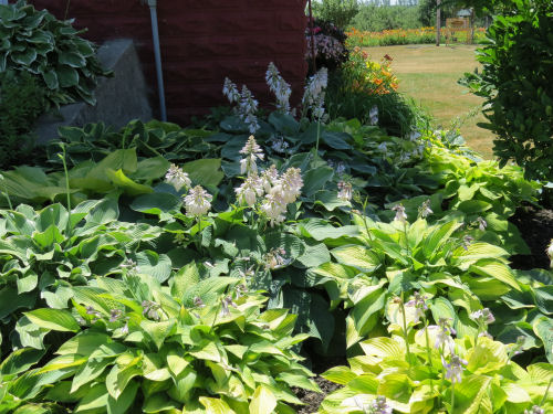 Mason County Garden Tour hosta
