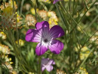 Nielle des blés - Agrostemma githago