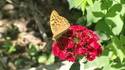 гвоздика китайская фото цветов