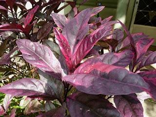 gambar daun wungu