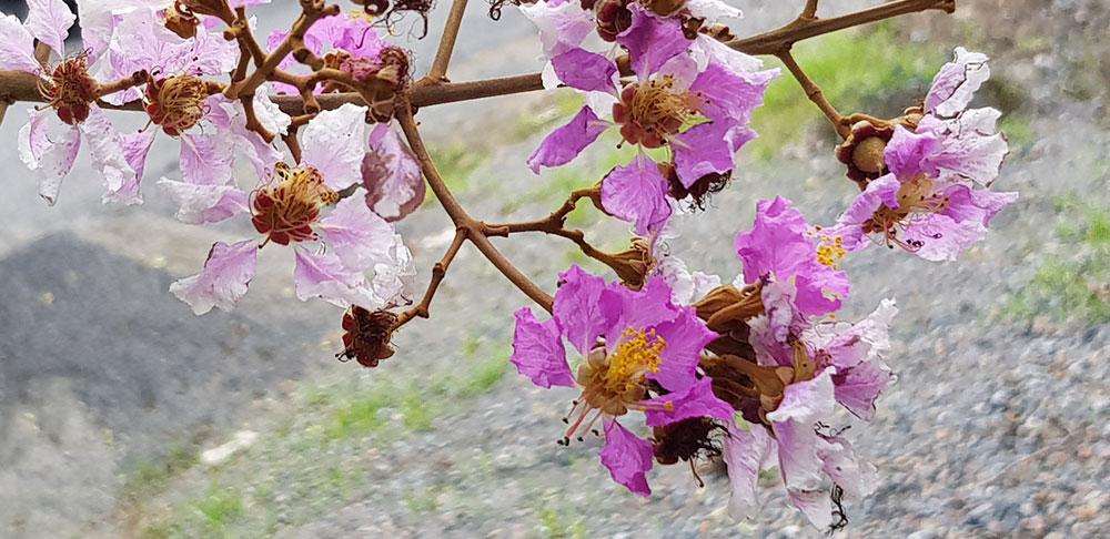 ดอกของต้นตะแบก
