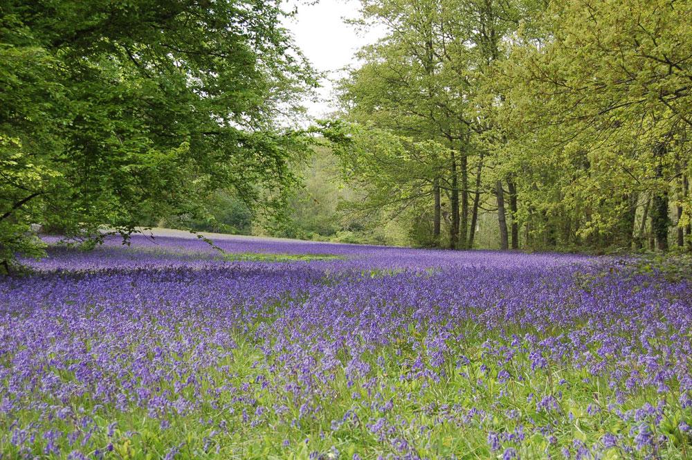 Bluebells near Penryn at Enys Gardens