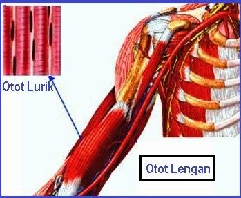 Bentuk Otot Polos Otot Lurik Dan Otot Jantung Seputar Bentuk