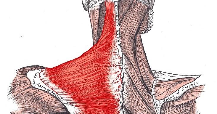 pain sensation trapezius muscle pain. Black Bedroom Furniture Sets. Home Design Ideas