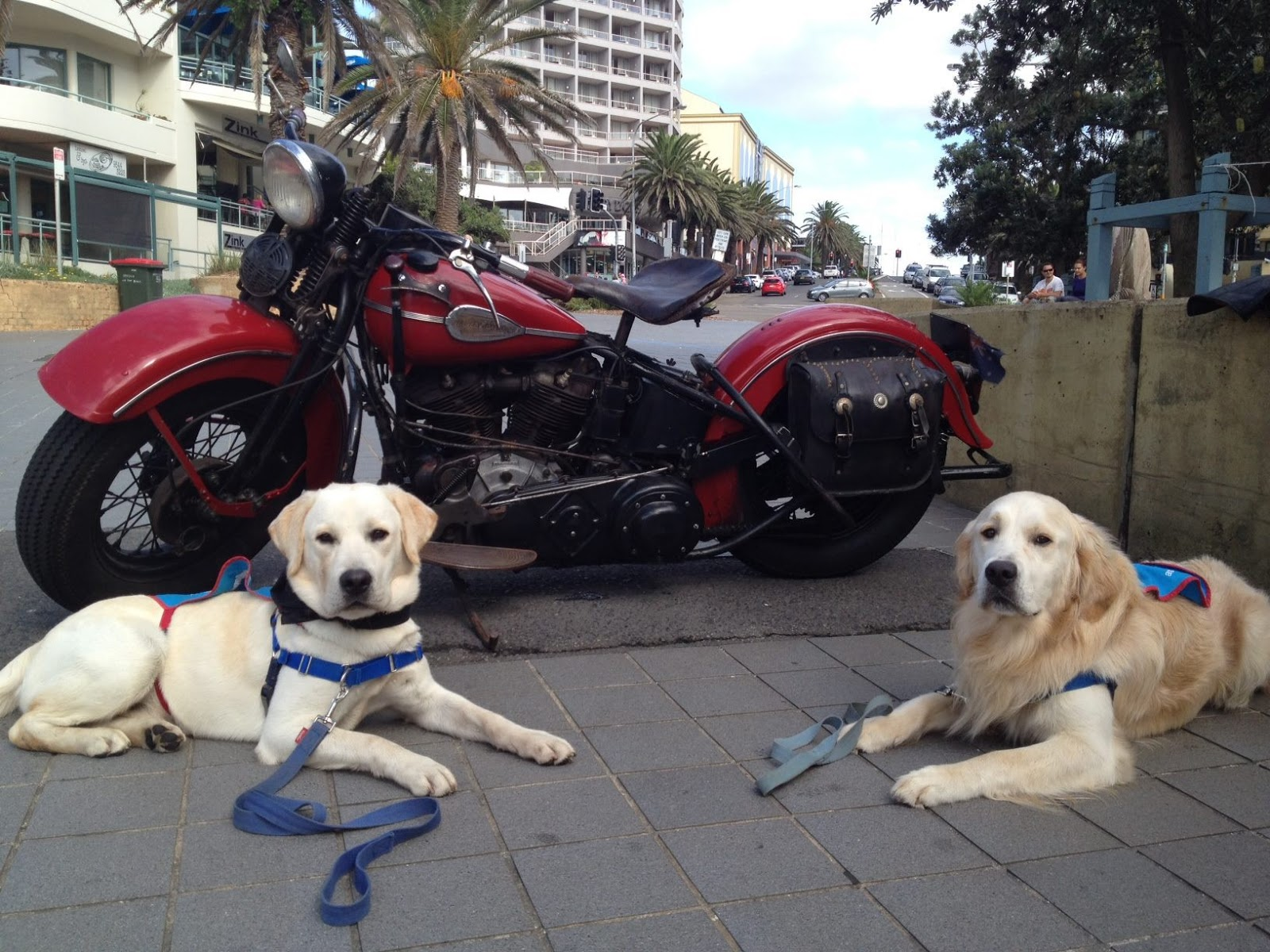 Assistance Dogs Labrador Retrievers in front of red Harley motorbike