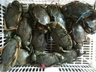 kepiting hidup bakau