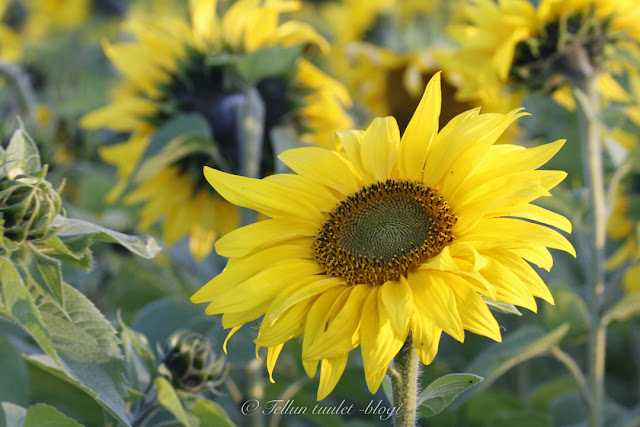 auringonkukka