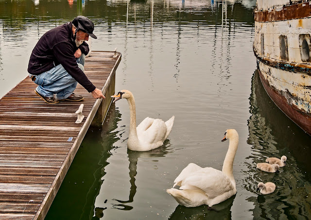 Photo of the Swan Man with the swans at Maryport Marina