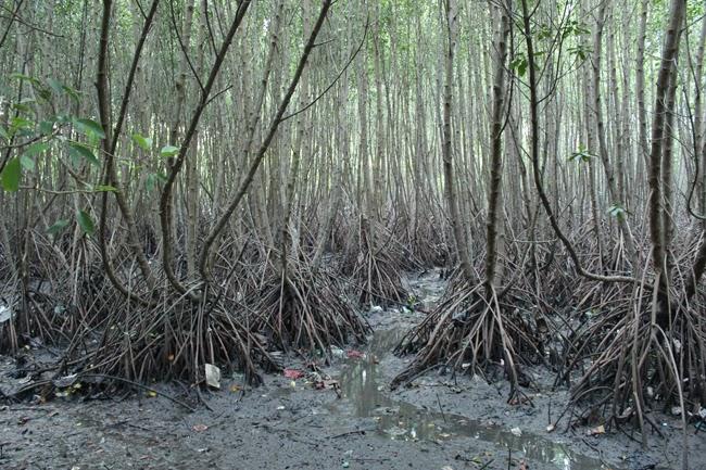 El panorama de los manglares