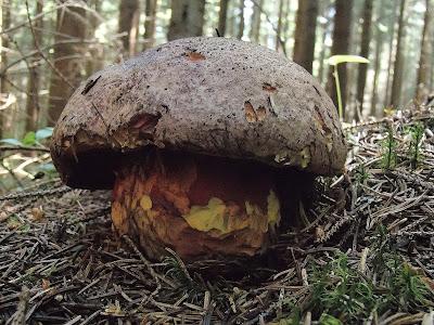 borowik orawski Boletus rubrosanguineus