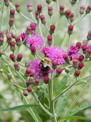 Tall Ironweed Vernonia gigantea Toronto ecological gardening by garden muses-not another Toronto gardening blog