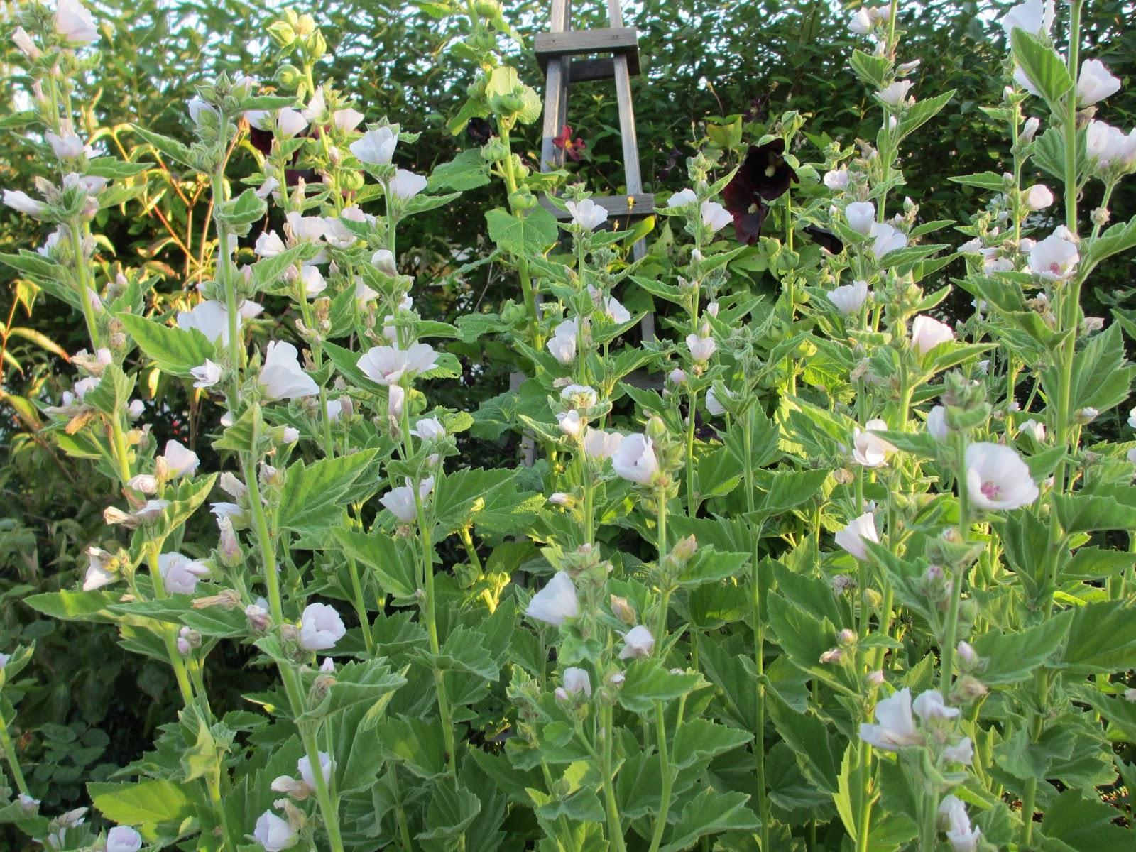 Trädgård i torslanda: läkemalva i kuling