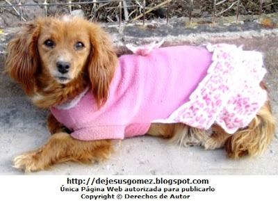 Foto de un perro hembra (perra) con vestido color rosado. Foto de perro de Jesus Gómez