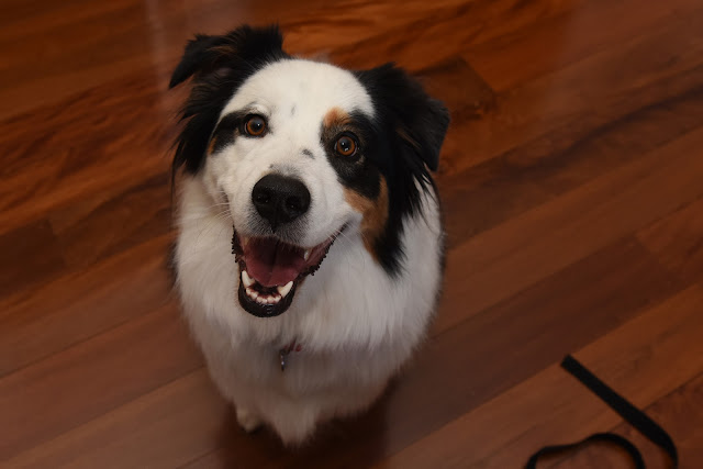 Australian shepherd, Aussie shepherd, dog