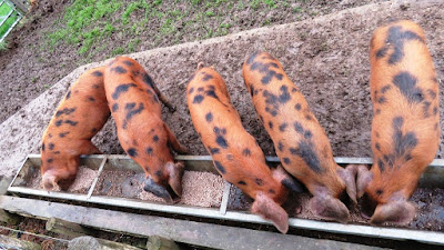 Oxford Sandy and Black Pigs on the HenSafe smallholding
