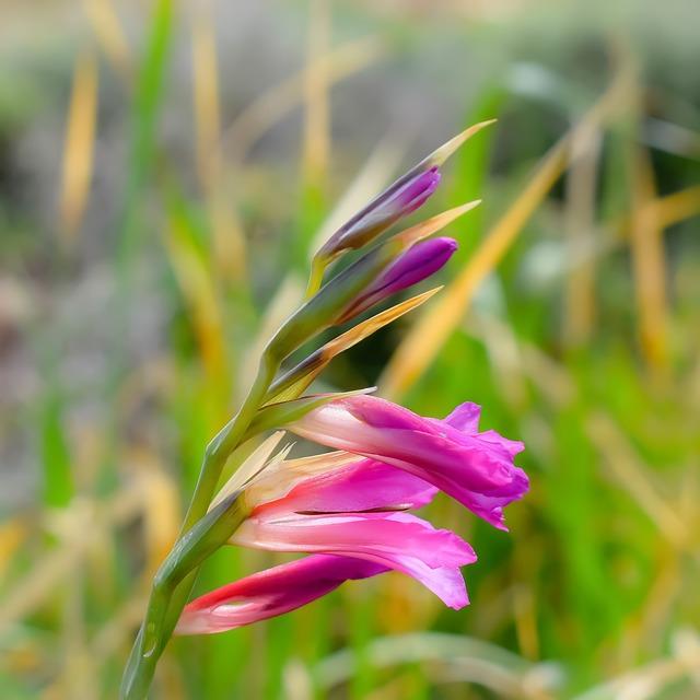 hoa lay ơn đẹp nhất 9