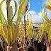 COMPARTE - Inicia la Semana Santa con el domingo de Ramos