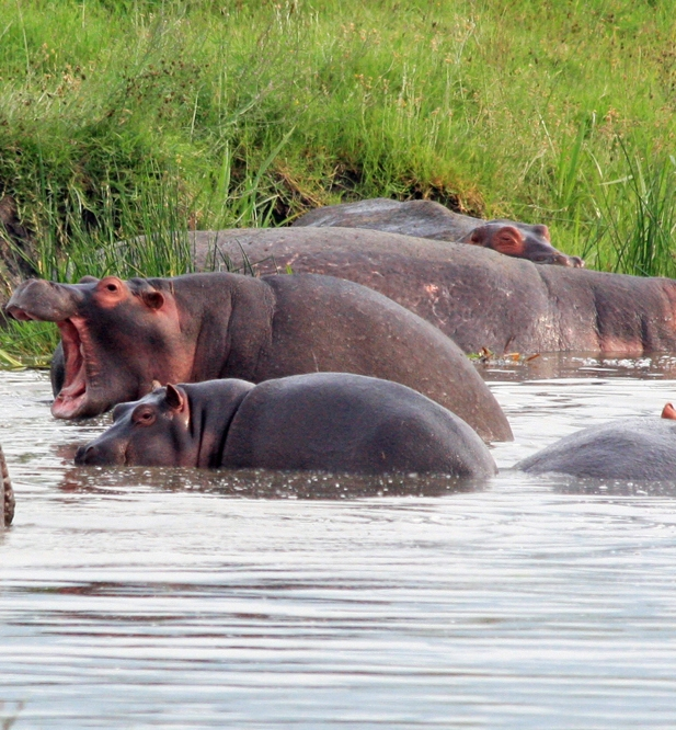 Picture of hippos in the water.